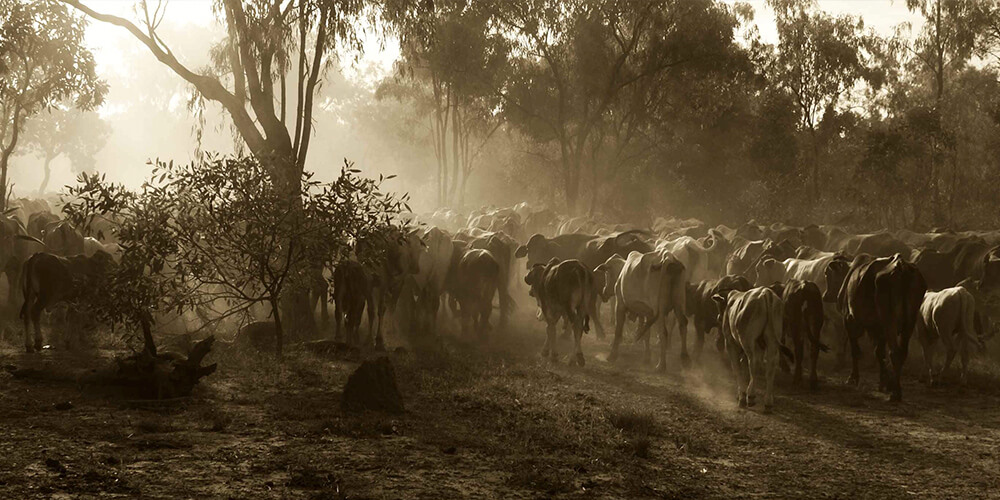 Australia Cattle Photography Studies